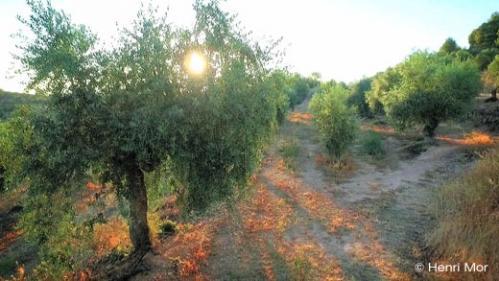 Producción de aceite de oliva arbequina - HENRI MOR